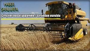 Çiftçiler hasat yaparken / sırtından vuruldu