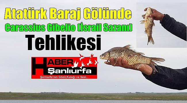 Atatürk Baraj Gölünde Carassius Gibelio (İsrail Sazanı) Tehlikesi