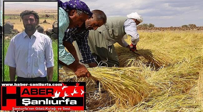 Siverek Karacadağ Pirincinde Ekim Azaldı
