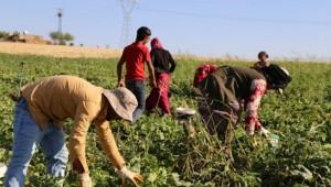 Viranşehir'de Şelengo Ekimi Tarihe Mi Karışıyor?