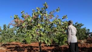 Şanlıurfa'da Boz Fıstık Yetiştiricileri Tüccarlardan Şikayetçi
