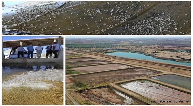 Şanlıurfa'da 10 Milyon Yavru Balık Üretildi