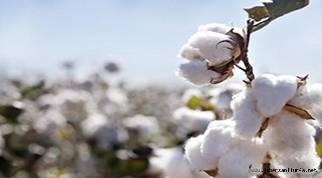 Pamuk Ekimi Yapan Urfa'lı Çiftçiler Endişeli