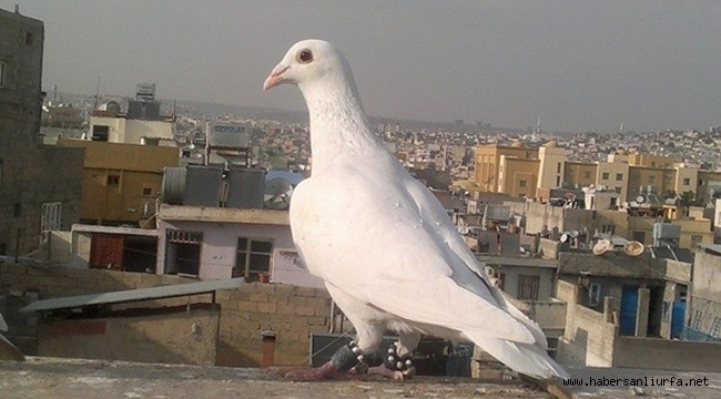 Güvercin Sevgisi Hayatına Mal oldu