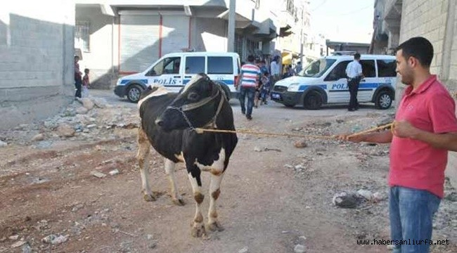 İnek Çalan Hırsız Şanlıurfa'da Yakalandı