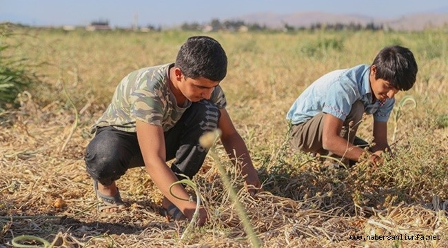 Urfalı Mevsimlik Tarım İşçisi Olan Öğrenciler LGS'ye Giremedi