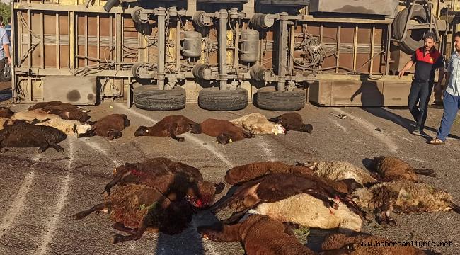 Urfa'da Kurbanlık 42 Koyun, Trafik Kurbanı Oldu