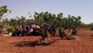 Urfa'da Boz Fıstık Hasadı Başladı